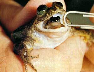 Frog giving birth through mouth